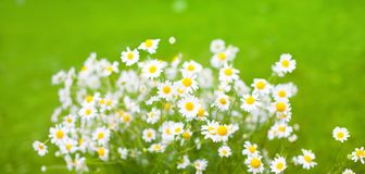 Bouquet of Daisy flowers on green Background. Beautiful Nature Summer Background with selective focus. Bouquet of White Daisy flowers on green Background. Wide Stock Photos