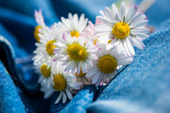 Bouquet of daisy flowers on jeans trousers Royalty Free Stock Photo