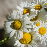 Bouquet of daisy flowers Stock Photography