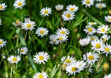 Daisies covering the meadow in spring. Bouquet of daisy on a green background, some flies foraging royalty free stock images