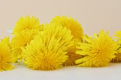 Bouquet of dandelions Royalty Free Stock Photo