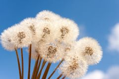 Bouquet of dandelions Royalty Free Stock Photos