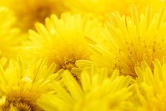 Bouquet of dandelions. Royalty Free Stock Photo