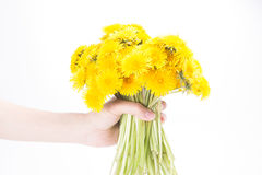 Bouquet of dandelions in the hand isolated on white. Stock Photography
