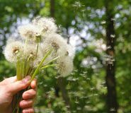 A bouquet of dandelions in hand in the summer stock photography