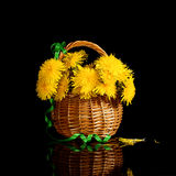 A bouquet of dandelions in a wicker basket. Black background. Royalty Free Stock Photos