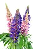 Bouquet de bluebonne photographie stock libre de droits