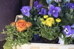 Bouquet de campanule et de ranunculus bleus à vendre Images libres de droits