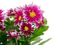 Bouquet de chrysanthème rouge images libres de droits