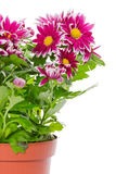 Bouquet de chrysanthème rouge photographie stock