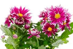 Bouquet de chrysanthème rouge images stock