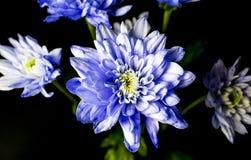 Bouquet de Chrysanth coloré par lilas Image libre de droits