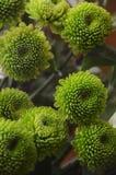 Bouquet de chrysanthemus vert sur un fond clair photographie stock libre de droits