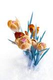 Bouquet de fleur de crocus de couleur de ressort Photo libre de droits