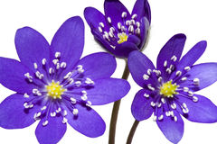 Bouquet de fleur de pourpre de montagne de source Photos stock