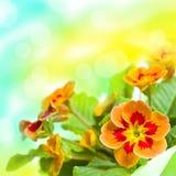 Bouquet de fleur de primevère Photo libre de droits