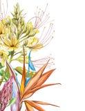 Bouquet de fleurs de Protea, de Caesalpinia et de Strelitzia d'aquarelle Illustration botanique florale de décoration tropicale illustration libre de droits