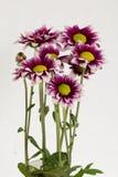 Bouquet de floraison de gazania Images stock