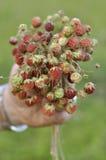 Bouquet de fraisier commun mûr Images libres de droits
