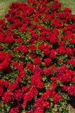 Bouquet de géraniums, Carthagène, Espagne Photographie stock