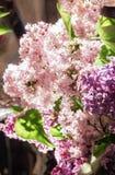 Bouquet de lilas frais image libre de droits