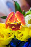 Bouquet de macro de plan rapproché de tulipes de carte de voeux rouge et pourpre jaune de tulipes Image libre de droits