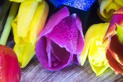 Bouquet de macro de plan rapproché de tulipes de carte de voeux rouge et pourpre jaune de tulipes Photographie stock libre de droits