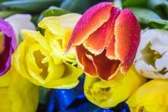 Bouquet de macro de plan rapproché de tulipes de carte de voeux rouge et pourpre jaune de tulipes Images libres de droits