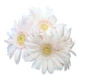 Bouquet de marguerite du Transvaal Images libres de droits