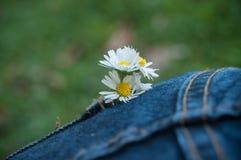 Bouquet de marguerites dans la poche de blues-jean de la femme Photos libres de droits