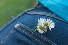 Bouquet de marguerites dans la poche de blues-jean de la femme Photo libre de droits