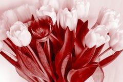 Bouquet de plusieurs tulipes de couleur rouge monochrome Image libre de droits