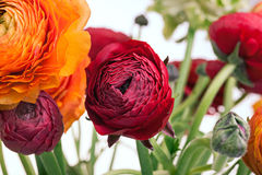 Bouquet de Ranunkulyus des fleurs rouges sur un fond blanc Photo libre de droits