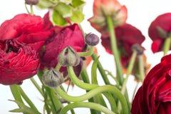 Bouquet de Ranunkulyus des fleurs rouges sur un fond blanc Photos libres de droits