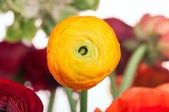 Bouquet de Ranunkulyus des fleurs rouges sur un fond blanc Photographie stock