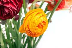 Bouquet de Ranunkulyus des fleurs rouges sur un fond blanc Images libres de droits