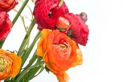 Bouquet de Ranunkulyus des fleurs rouges sur un fond blanc Image libre de droits