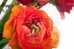 Bouquet de Ranunkulyus des fleurs rouges sur un fond blanc Photographie stock libre de droits