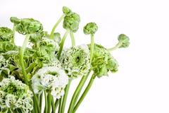 Bouquet de Ranunkulyus des fleurs rouges sur un fond blanc Photos stock