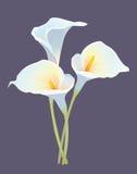 Bouquet de trois callas Photographie stock