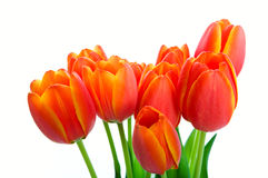 Bouquet de tulipe de source Images libres de droits