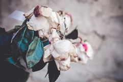 A bouquet of dead withered white roses. In front of concrete grey wall royalty free stock photography