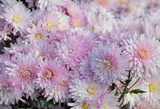 Bouquet of delicate pink flowers of Chrysanthemum with drops of dew in the Sun royalty free stock photo