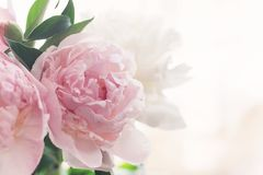 Bouquet of delicate pink peonies stock image