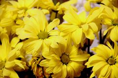 bouquet of delicate yellow daisies, close-up stock photos