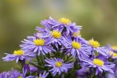 Bouquet des asters. Photos libres de droits