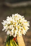 Bouquet des baisses de neige Photo stock