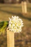Bouquet des baisses de neige Image libre de droits