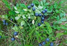 Bouquet des brindilles des myrtilles de forêt avec des baies photo stock