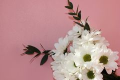 Bouquet des chrysanthèmes blancs sur un fond rose Vacances et concept d'amour Saint-Valentin, le 8 mars et jour des femmes photographie stock